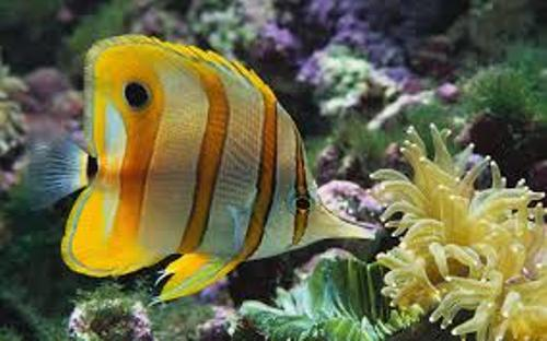 Butterfly Fish Pic