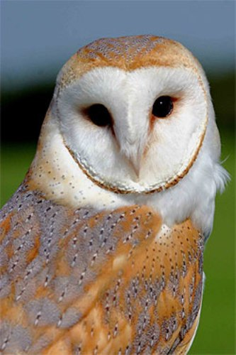 Facts about British Owls