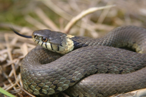 Facts about British Snakes