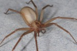 10 Facts about Brown Recluse Spider