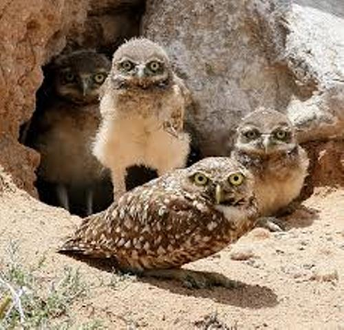 Facts about Burrowing Owls