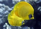 10 Facts about Butterfly Fish