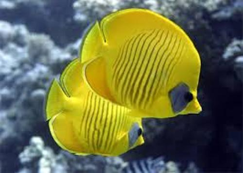 Facts about Butterfly Fish