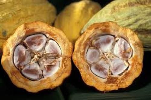 Cacao Picture