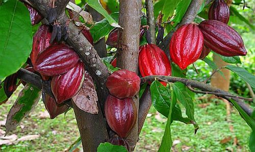 Cacao Trees Facts