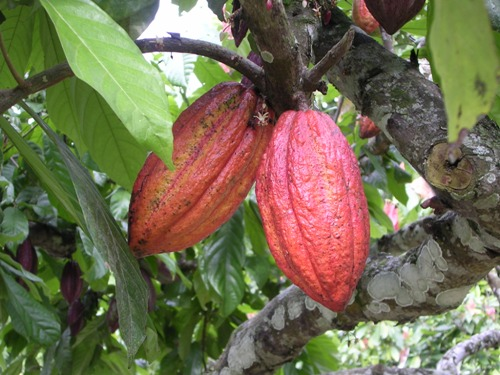 Cacao Trees