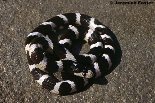 California King Snake Pic