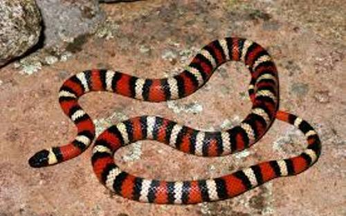 California King Snakes Color
