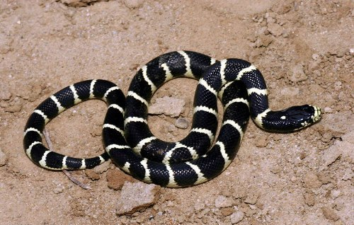 California King Snakes