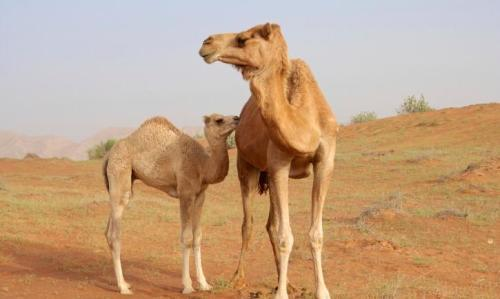 essay on camel animal Check out our top free essays on camel to help you write your own essay.