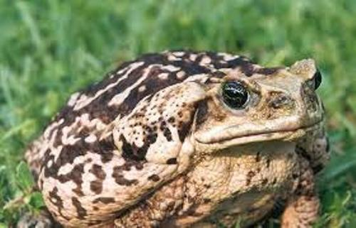 Cane toads Facts