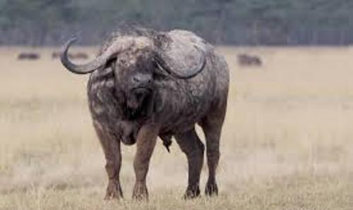 Cape Buffalo Image