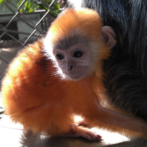 Capuchin Monkey Face