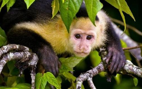 Capuchin Monkey Pic