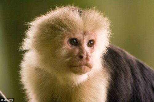 Capuchin Monkeys facts