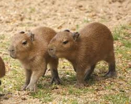 Capybaras Facts