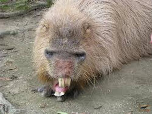 Capybaras Pet