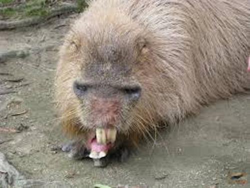Capybaras Pet