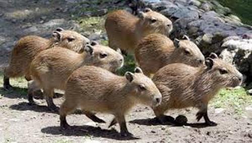 Capybaras Pic
