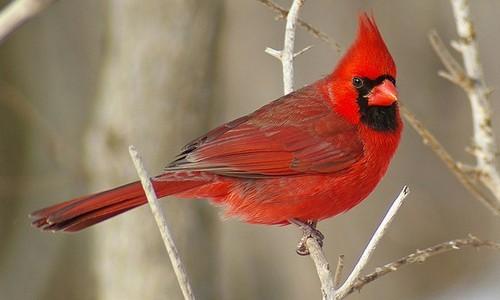 Cardinals Facts
