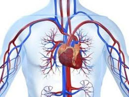 Cardiovascular System Pic