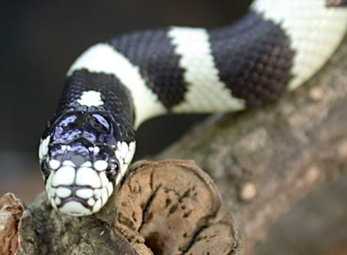Facts about California King Snakes