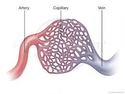 Facts about Capillaries