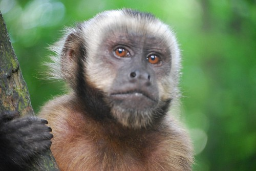 Facts about Capuchin Monkeys