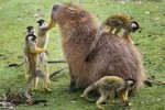 10 Facts about Capybaras