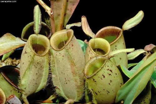 Carnivorous Plant Pic
