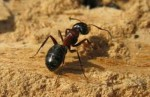 10 Facts about Carpenter Ants