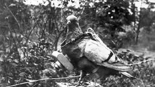 Carrier Pigeon Pic