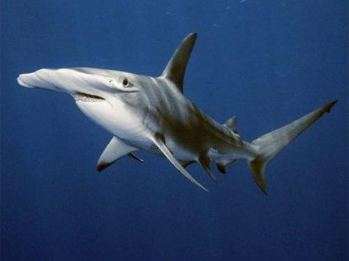 Cartilaginous Fish Pic
