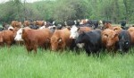 10 Facts about Cattle