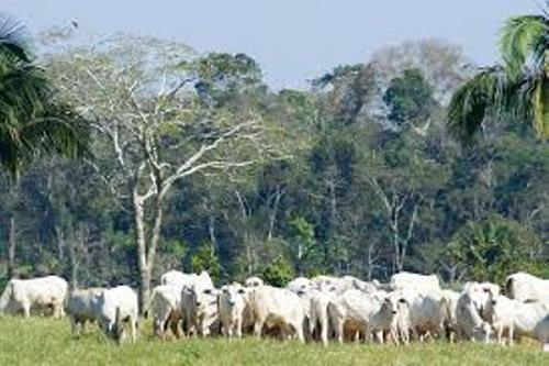 Cattle Ranching Deforestation Pic