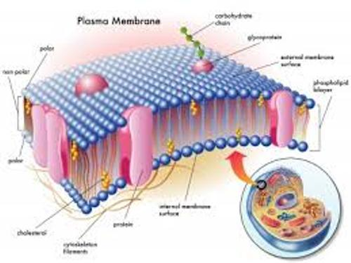 Cell Membrane Function