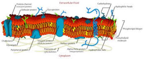 Cell Membrane Pic