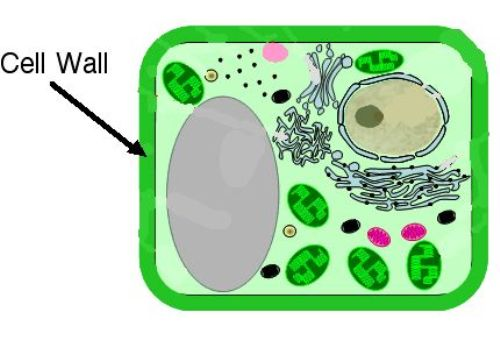 Cell Wall Structure