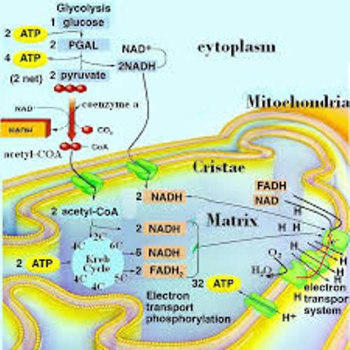Cellular Respiration Facts