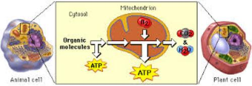 Cellular Respiration Pic