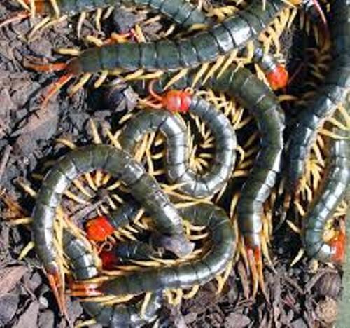 Centipedes Pic