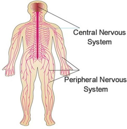 Central Nervous System Pic