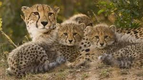 Cheetahs and Cubs