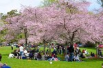 10 Facts about Cherry Blossoms