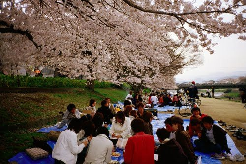 Cherry Blossoms Facts