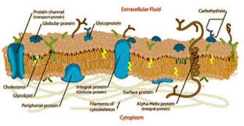 Facts about Cell Membrane
