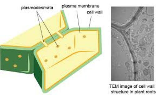 Facts about Cell Wall