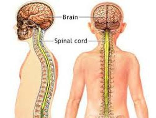 Facts about Central Nervous System