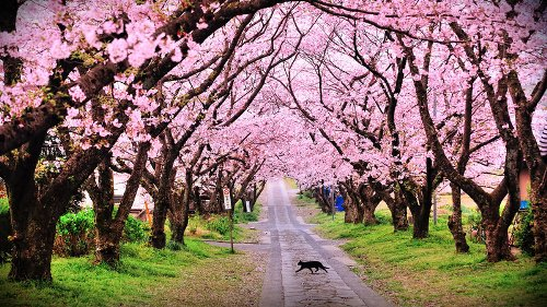 Facts about Cherry Blossoms