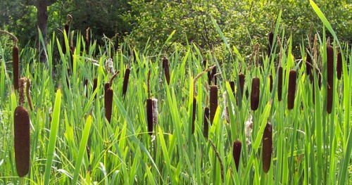 facts about Cattails